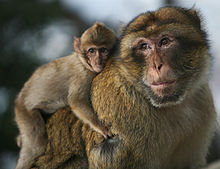 Barbary_macaque_Wikipedia